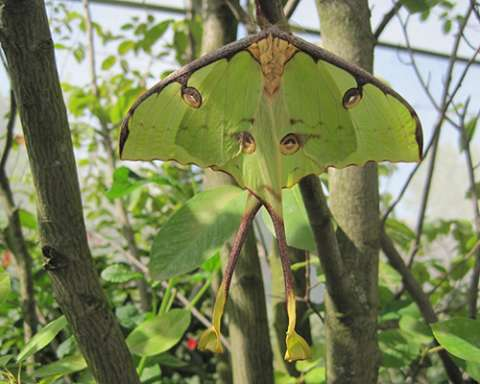 PHOTO: African moon moth