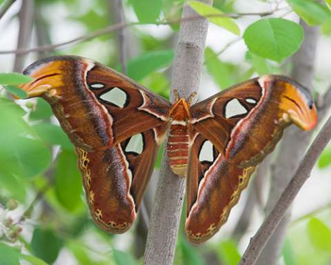 PHOTO: Atlas moth