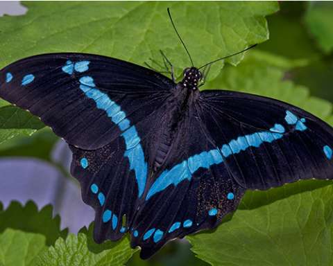 PHOTO: Blue-banded swallowtail butterfly