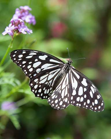 PHOTO: Blue tiger butterfly