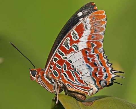 White-barred Charaxes