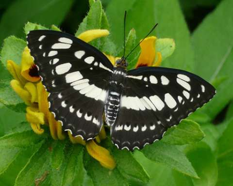 PHOTO: Common sergeant butterfly