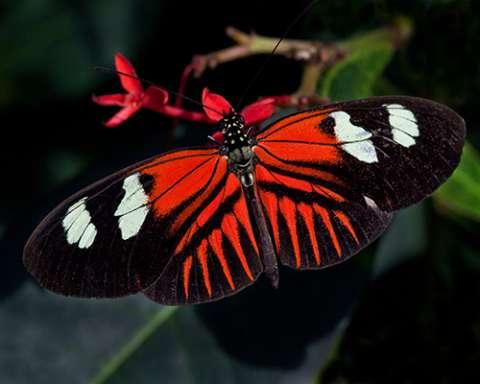 PHOTO: Doris longwing butterfly
