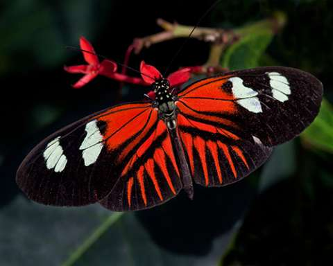 PHOTO: Doris longwing butterfly