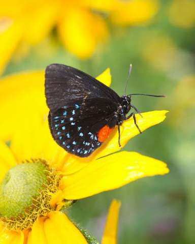 Atala Hairstreak