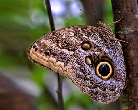 PHOTO: Giant owl butterfly