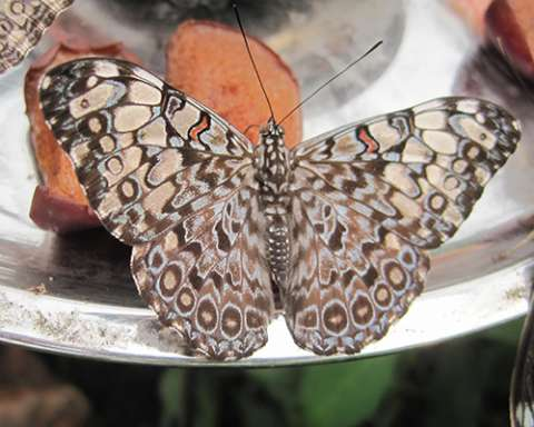 PHOTO: Grey cracker butterfly