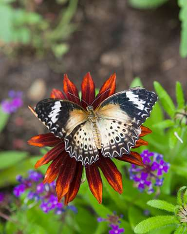 PHOTO: Leopard lacewing butterfly