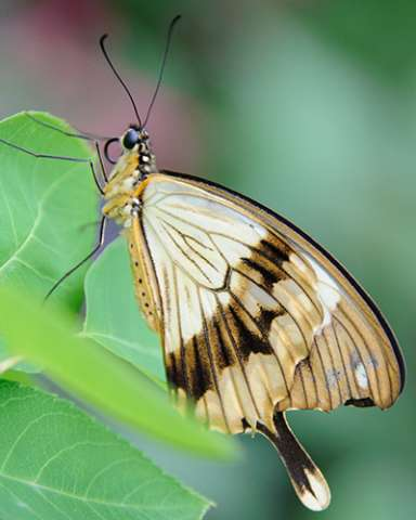 PHOTO: Mocker swallowtail butterfly