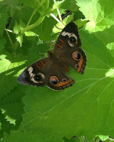 PHOTO: Peacock pansy butterfly