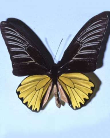 Magellan Birdwing