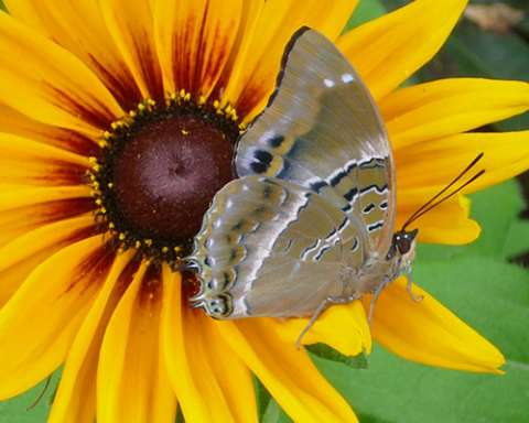 PHOTO: Violet-spotted charaxes