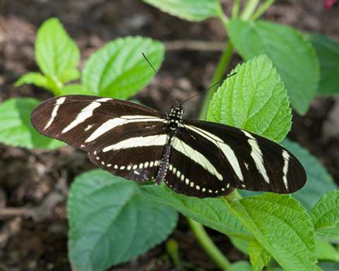 PHOTO: Zebra longwing butterfly