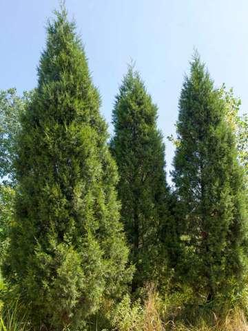 Juniperus chinensis 'Keteleeri'