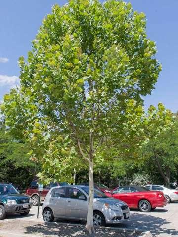 Platanus x acerifolia 'Bloodgood'