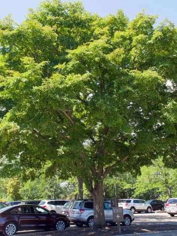 image Elm tree
