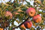 Apples in the Fruit & Vegetable Garden