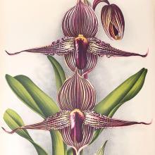Asian Orchids Illustrated