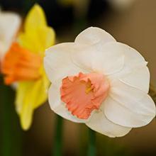 Midwest Daffodil Society Bulb Sale