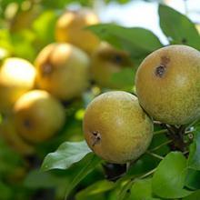Midwest Fruit Explorers Show & Sale