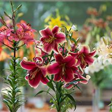 Wisconsin-Illinois Lily Society Show & Sale