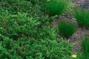 Juniperus chinensis var. sargentii 'Viridis'