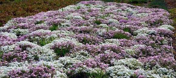 Phlox subulata 'Apple Blossom' and 'Snowflake' at the Green Roof Garden