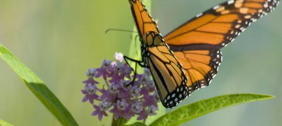 Learn about monarch butterflies and take home a butterfly weed!
