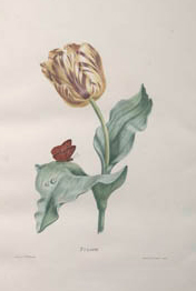 PHOTO: botanical illustration of tulip