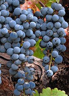 PHOTO: Zinfandel wine grapes.
